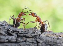 curiozitati-despre-furnici