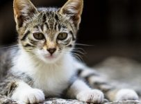 curiozitati-despre-pisici
